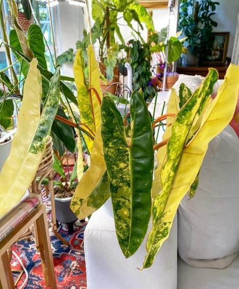Aubrey Miles plants aroids philodendrons indoor outdoor garden